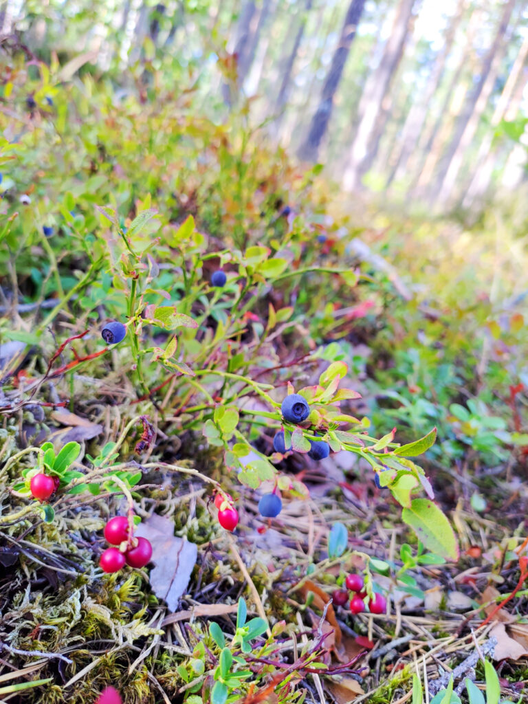 Vackra blåbärsris i Rällaskogen vid Rälla på Öland.