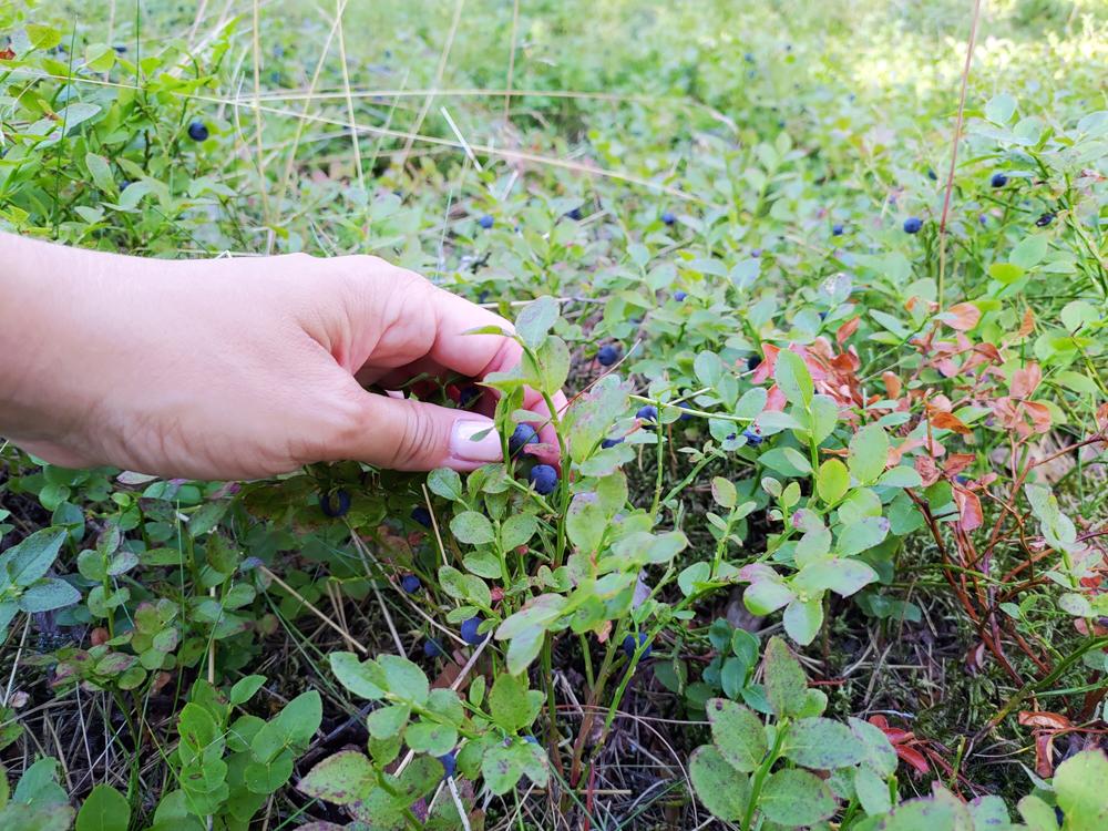 Plocka blåbär i Rällaskogen vid Rälla på Öland.